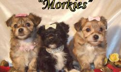 I have three beautiful Morkie females in search of their forever homes. Two of them are carmel cream in color with white accents, and one is black with white accents. These pups are non-shedding and hypo-allergenic. They should reach a mature weight of