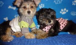 Tiny toy morkies, ready to now, 5-8lbs fully grown, non shedding, hypoallergenic, vet checked, 1st and 2nd set of shots, dewormed. For more info: 647-839-6804