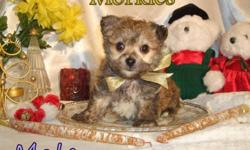 We have two beautiful Morkie puppies (Maltese Yorkie) available to loving homes. They are non-shedding and hypo-allergenic. The Female is now spoken for, but the male is still available. Pups mature weight should be approximately 5-6 pounds. They are very