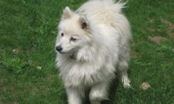 YOU WILL NEVER FIND THIS DEAL ANY WHERE To many animals to feed and not prepared for winter Urgently needing a new home for 2 beautifull little purebred Mini American Eskimo females, weight approximatley 10 lbs each.  Have had 1 beautifull litter of pups