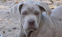 We have one awesome-friendly- 4 month old Nea Mastiff male-if you love big gentle gaints for your companion-this is the pup for you! He is UTD on shots,wormer. Contact Brenda: 306-236-6935 or email this ad and I will get back to you! Can do a meet in N.