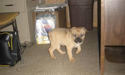 Female 9 week old 3/4 French Bulldog 1/4 Pug puppy.  Fawn in colour. Has first shots.  Needs a good home for Christmas.  ONE ONLY!!!   Asking $400 but open to offers.