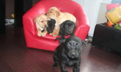 These new pictures are the 5 puppies we have for sale, that are 7 weeks old now. They will be ready to go at the beginning of February at 8 weeks. There is 1 black male, 1 black female (she is the one who won't stay still in the pictures. My personal