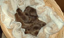 Bijoux and Clifford have 8 new puppies...2 males and 6 females. Our pups are purebred CKC registered, will have first needles at 6 weeks. They will be microchipped, dewormed, and vet checked. Ready to go home at 8 weeks...they are 1 week today.Call