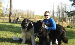 3 beautiful females Newfoundland puppies,both purebred parents on side looking for there forever homes We take deposits now delivery available