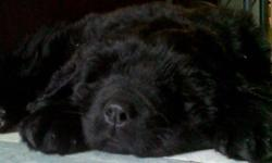 I have one purebred Newfie girl for sale. Both mom and dad are registered. She will be vet checked, vaccinated and dewormed before she goes to her new home. This little girl seems to be fairly tight mouthed so drool will be minimal if at all. I offer a