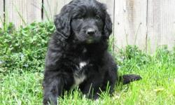 Gorgeous Newfoundland x golden retriever puppies, now ready to go! They are 8 weeks old, born on November 26, 2011. There are 3 males and 4 females currently available. We are welcoming visits to our home by appointment between 9am-9pm daily.   Our