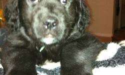 4 Male Puppies Left, Father is a Newfoundlander and Mother is a Golden Retriever.   8 weeks old!   Ready to go now! They have their first set of shots and dewormed and vet checked. They are Big happy healthy pups.   Very very well socialized. Would make a