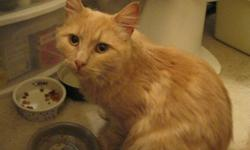Beautiful orange Newton - this friendly cat was found scrounging for food and shelter behind an apartment building in downtown Dartmouth. Sweet and affectionate with humans, Newton has a lovely temperament and is getting along well with the two other cats