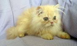 The beautifull Persian girl in very lovely cream color, doll face with huge copper eyes are ready to go to a new foreever loving home. She has been vaccinated, de-wormed. Very playful and affectionate. Please, email if interested.