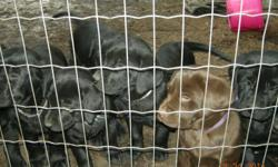 2 Males & 3 Females They have had 1st shots & deworming Mom & Dad availiable for viewing Ready to go