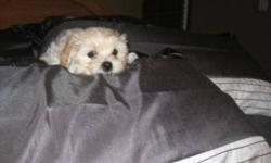 These CUTE, CUDDLY and FRIENDLY puppies are ready to meet their new family!!  We have 1 male and 1 female left. They make great family pets and love to play with children and other pets.  They have been raised in a family setting, held lots and are very