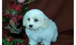 These puppies are non -shedding, and would make excellent family pet.Mom is a Cocker Spaniel, and  Dad is a Bichon. Will mature to around 11inches tall and approx.15-17lbs. Both females and male available, they have received their vaccinations and they
