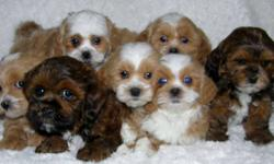 SEVEN SHIH POO PUPS Non Shedding Sweethearts Shih Tzus ( Mom) are super sweet, loving and great family dogs Poodles ( Dad) are intelligent and eager to please   Creating a Super Sweet Loving Intelligent Cross with and estimated adult weight of 10-15lbs