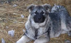 Norwegian Elkhound puppies: ONLY - 2 females left. These adorable puppies are friendly, playful and will grow to be medium size dogs (like a husky). They are family dogs and are great with children. They enjoy being outdoors and have been vet checked.