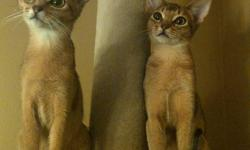 Beautiful, PUREBRED Abyssinian kittens. Registered.  No hybrid lines. Ruddy.  Contract and health check. Initial vaccine, dewormed. Grand Champion and National Winning lines.  Visitation by appointment.  Richmond Hill and Brampton.   Our cats and kittens