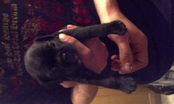 Puppies for sale!! Mom is a cocker spaniel pug, weighs 18lbs. Dad is a boston terrier pug, weighs 12 lbs. ONLY 1 BLACK FEMALE LEFT!! They will come with shots and deworming and will be vet checked before being rehomed. We are now taking $100 deposits to