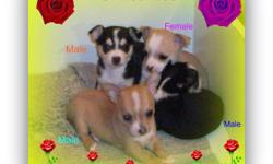 Super Cute Chihuahua Puppies(shorthair) 3 Males and 1 Female..Mom weight 6 pounds and Dad weight 3 and half pounds,all the puppies come with a starter pack,dewclaws removed,and a 1 year,written health guarantee(for your peace of mind)also come with first