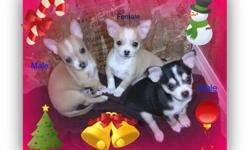 gorgeous Chihuahua Puppies (shorthair) 3 Males and 1 Female,been at the vet,where they received,their ; first shot,dewormed,and a full vet check,from head to tail,also come with a 1 year,written health guarantee ( for your peace of mind )also come with a