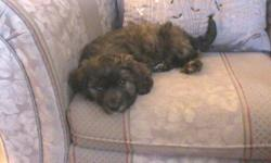 1 Princess and 2 Charmers Mother is a long haired Dachshund.  Father was a min Schnauzer. TO SEE PLEASE CALL#621-4055