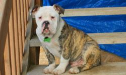 we have a regsitered olde english bulldogge male pup , will be 100 pounds when full grown , big block head, lots of wrinkles, wide nostrils free breather, very healthy and lovable, he is a gorgeouse lemonbrindle, and white,  he comes from healthy reg