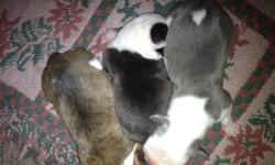 Hello,  We have just had a litter of Olde English Bulldogge's. They were born on January 26th, and will be ready for their new homes around the 20th of March.   We have 5 females and 4 males.     ForFemales we have:  2- blue/grey and white