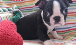 boston terrier babes are ready for lovin homes... 1 male available.... 3 months of age. THESE PUPPIES HAVE BEEN AROUND CATS, KIDS AND OTHER DOGS & LOVE EVERYBODY. THEY ARE SWEET PUPS THAT LOVE TO PLAY AND WATCH T.V... LOL. THEY HAVE BEEN TO THE VETS, THEY