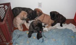 NEW PRICE again....ONLY ONE pure breed female english mastiff  brindle left...she is very big and strong puppy very beautiful...she was born dec.1.. she will also come with: -first shots -twice deworment -vet checkt IF YOU WANT CKC PAPERS FOR YOUR PUPPIES