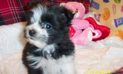 """""""FLASH"""" is lonely,now his sister has been adopted. Tiny Pomeranian/Shih-Tzu male pup. Born 29th November 2011. Black with White points. Looks like a tiny ruff coated Border Collie. Vet.checked. Healthy. 1st vaccination and d-wormed."""