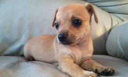 Looking for a good, loving home for two brand new chihuahua puppies. Both males, 1 black and 1 tan. The black on is a long haired chihuahua and the tan is a short haired chihuahua. The puppies will come with their first shots, a small kennel, a collar and