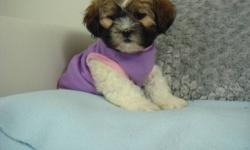"""SHIH POO PUPPY - 1 GIRL LEFT""""MAGGIE"""" - ALL PHOTOS ARE OF HER   We have just 1 little shih-poo puppy left from out litter. Little Maggie is very playful and social. She is well behaved, and gets along great with everyone! She is part poodle and part shih"""