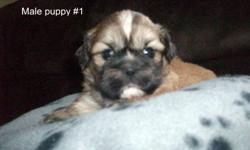 4 Beautiful ,hypo-allergenic, male shih-tzu puppies left. Born Sept 23. Love to play and be cuddled. $350. Ready to go Nov 18. No vet check or needles. Mother on site. Wood Islands Area. Please call 963-3573