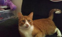 Pumpkin is a very lovable 3yr old tabby cat, he has no desire to go outside besides looking out windows, he is great with children and loves to cuddle beside you. he is fixed and healthy.