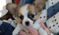 Two beautiful brown and white cross-bred puppies.  They are gorgeous babies with the large stand up ears of the papillon. Their coats are soft and fluffy. Mother is a seven pound papillon and the father is a four pound chihuahua. Up to date on shots and