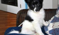SALE IS PENDING  BEBE is a beautiful black and white male papillon.  At five months old he has a long soft coat and his ears are erect.  He is very friendly and would do well with children or another dog. He should mature to about 10 pounds. Shots and