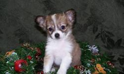 The mom is a beautiful tri color Papillon and the dad is long coat Chihuahua.  There are two females and one male in the litter. Papillons are know as the butterfly dog because of their beautiful face and ears. Both the parents and puppies have a very