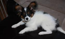 3.5 month old Papillon cross pom puppy seeking forever home. Very smart and loving. He has his 1st and 2nd shots and de-wormed. for more info call Steph at 778-478-6338 or email.