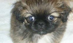 Little balls of fur! pekingese puppies for sale. 2 males, very playful and cuddly. They are weened and ready to go to their new homes! photos are of puppies and mom and dad they are paper trained too :) puppies will come home to you with a really great