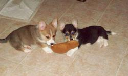 We have 2 Pembroke Welsh Corgi Puppies left they are Vet Checked  , Dewormed , Vaccinated , Tail's are Not Docked . They are puppy pad trained . They are family raised excellent with children and other pet's they are very playful and love to be cuddled .