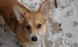 I am looking to place two beautiful Pembroke Welsh Corgis.  The male is a CKC champion and is very gentle and mellow in nature.  He is a very wonderful dog.  The female is very beautiful but only enjoys the company of her mate. She loves all people but is