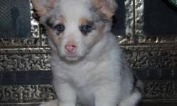 I only have 3 Pembroke Welsh Corgis left - Born October 9th. They will be ready to go after December 9th. They will have their first shots and a small vet check. Female and Male are both purebreed. They are excellent dogs, travel good and have good