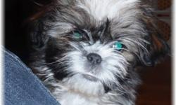 Absolutely gorgeous tri-color little lady waiting for her perfect forever home.  Excellent temperment, very loving and intelligent with a beautiful non-shed/allergenic coat. Home raised, social and great with children. This cross brings together the best