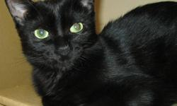 "Unfortunately one of Action Volunteers for Animals' very young cats was recently diagnosed with Feline Leukemia.  Onyx had once been returned by an adopter with the excuse that she was just ""too active"".  Currently with our overcrowded foster home"