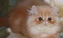 Available and ready to go     From Registered Breeder: The price depend quality and blood line,             As a pet or with full right     CPC Persian, two vaccination done Red  Tabby girl as a pet $600, Pure breed Himalayan kittens:  two vaccinations