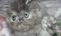 From Registered Breeder:  The price depend quality and blood line,             As a pet or with full right Available and ready to go:    CPC Persian, two vaccinations done Red  Tabby girl available and ready to go as a pet $500 The girl has extreme sweet