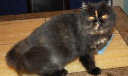Persian cat, female spayed 2.5 y.o. color: tortoiseshell All vaccinations up-to date. Very lovely and playful. For serious inquiries ONLY! Adoption fee $80