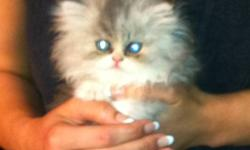 Hello, selling my Persian kitten I bought 3 weeks ago. Bought it for $800. Too small condo and hardly home. Not fair to this beautiful kitten. It's a male...born Sept1 2011 Rare breed. If interested, please contact me for this beautiful little guy.