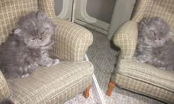pure persians, ready for new home in 10 days. do not email, call please 403 990 0261. Jasminka
