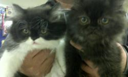 2 Baby Persian Kittens for sale. They have had their first shots, de-wormed and also micro-chipped. They look huge in the picture but they are still tiny. Please call 905-508-3430 or email for any questions you have.
