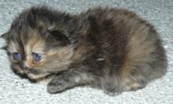 We have 2 litters of Persian kittens, the first litter will be available in time for Christmas, the 2nd litter around new years. The first litter includes 3 extreme face kittens, 2 black (1 female(sold) & 1 male) and 1 female tortie persian. Mother is an
